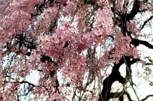 Cherry Blossoms by imaginary-imagery
