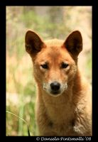 Dingo Portrait by TVD-Photography