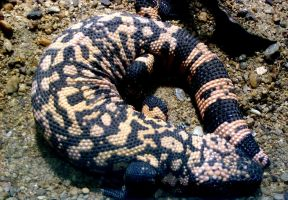 Gila Monster by lovefistfury