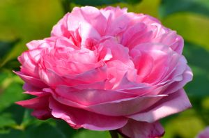 Pink Delight by Forestina-Fotos