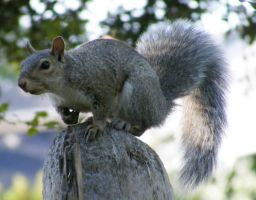 Squirrel 01 by Limited-Vision-Stock