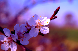 Apricot Flowers by Marsala
