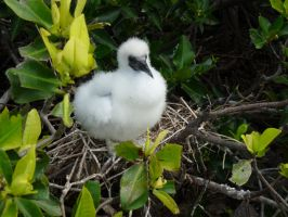 Fluffy Little Booby Chick by Pistachio-Ice-Cream