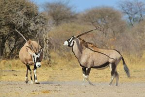 Oryx Antelope - Fighting Beauties from Africa by LivingWild