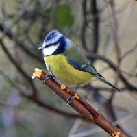 Blue Tit by BlonderMoment