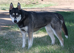 Siberian Husky Stock 037 by EssenceOfPerception