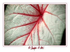 Red and white leaf. by ulose2piranha
