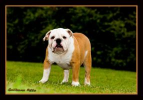 Bulldog Puppy by guipatto