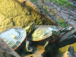 Turtles 001 stock by thiselectricheart
