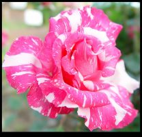 Rose V by woolfier