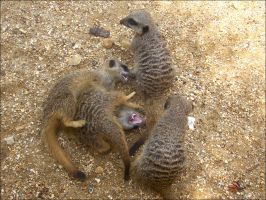 meerkat playfight by smev