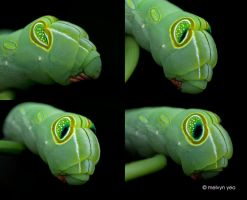 False Eyes of a Hawkmoth Caterpillar by melvynyeo