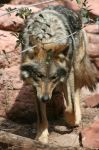 Mexican Grey Wolf 002 by FoxWolfPhoto