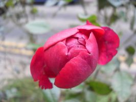 Red Rose close up by blackroselover