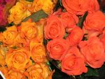 roses by lefthandstock