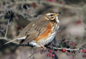 Looking sharp - Redwing by Jamie-MacArthur