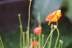 150307 Poppies and Things by TalizmynVox