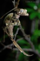 Satanic Leaf-Tailed Geckos by MonarchzMan