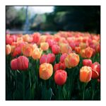 2015-133 Highland Park - tulip bed by pearwood