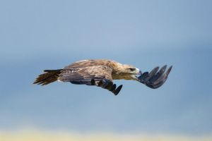 Tawny eagle by 00Tiger00