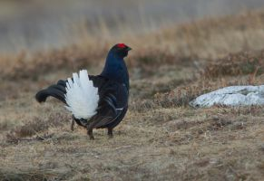 Show off - Black Grouse by Jamie-MacArthur