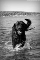 Water Dog B/W. by pasofino6