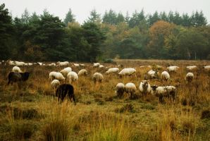 Sheep on the Heath by steppeland