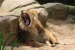 Barbary lion (Panthera leo leo) by Daan-NL