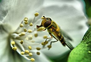 Bee on the  Jasmine by OlgaC