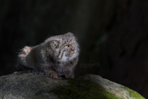 Mysterious Pallas's cat. by Ravenith