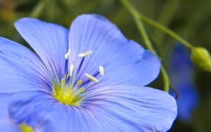 Blue Flower Widescreen by Bhesi