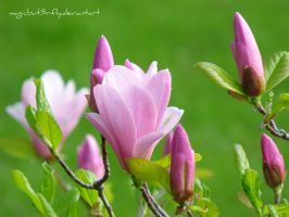 Magnolia by magicbut3rfly