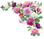 PeoniesPNG by kmygraphic