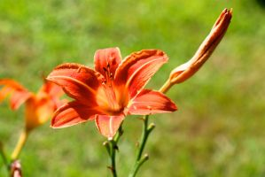 Day lilies by SoOblivious
