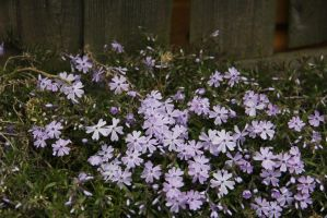 Phlox in spring by Solankii