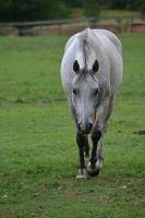 Gray Welsh Pony Stock4 by blue-eyed-book-lover