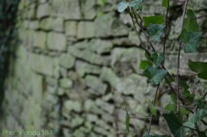 Creeping Ivy by PhotoPanda184