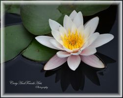 Waterlily by CaryAndFrankArts