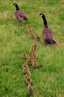 a gaggle of stragglers by photom17