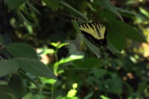 Tiger Swallowtail by Tails-155