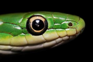 Rough Green Snake by SnowPoring