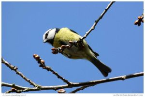 Blue Tit Above Me by In-the-picture