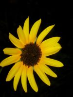 Sunflower by my-dog-corky