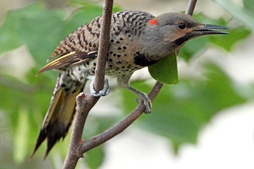 Woodpecker of the Year by clippercarrillo