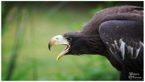 2013-88 Juvenile Stellers Sea Eagle by W0LLE
