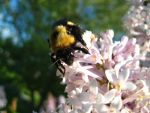 Bumble bee 1 by sidneyj06