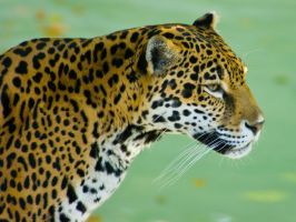 jaguar42 by redbeard31