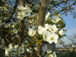 Pear Blossoms3 by lampshaded-stock