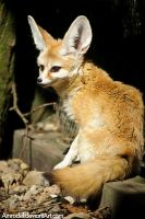 Fennec Fox by amrodel