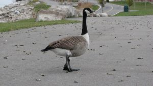 Canadian Goose by Big-D-pictures